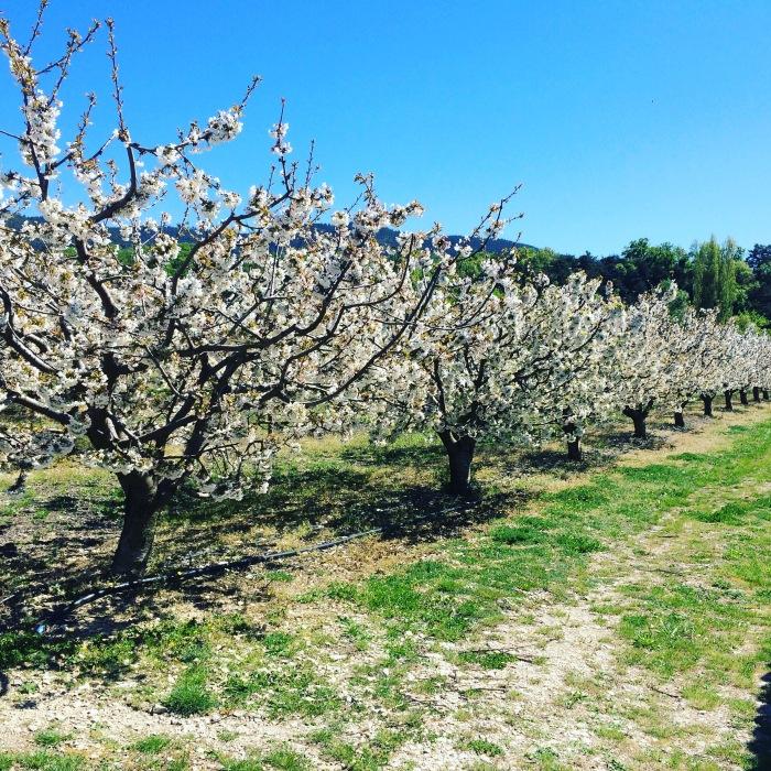 Provence-Kirschen - 1 (1)