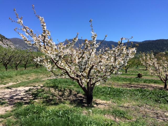 Provence-Kirschen - 2